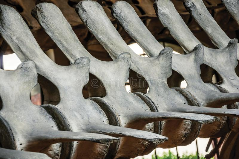 Esqueleto de la espina dorsal de mamíferos marinos en la galería de la paleontología y de la anatomía comparativa en París foto de archivo libre de regalías