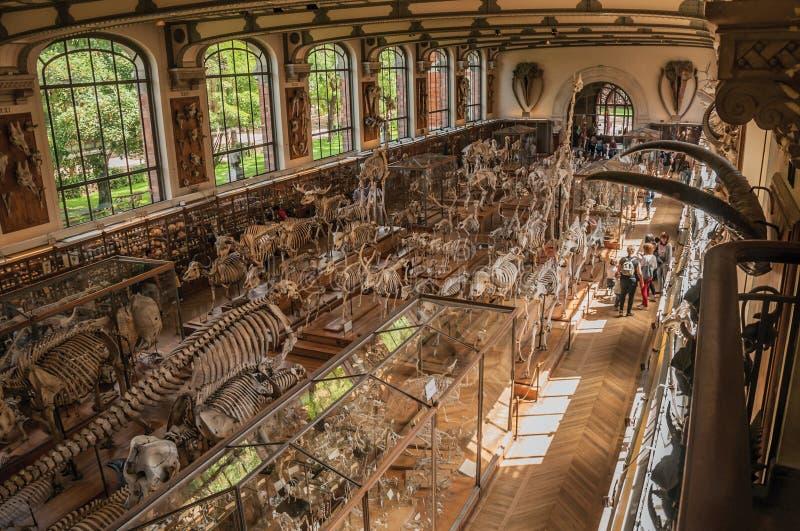 Esqueleto de la espina dorsal de mamíferos marinos en la galería de la paleontología y de la anatomía comparativa en París fotos de archivo libres de regalías