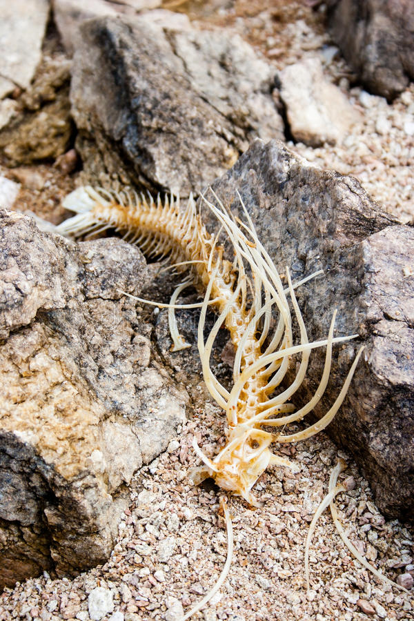 Esqueleto de los pescados en rocas foto de archivo