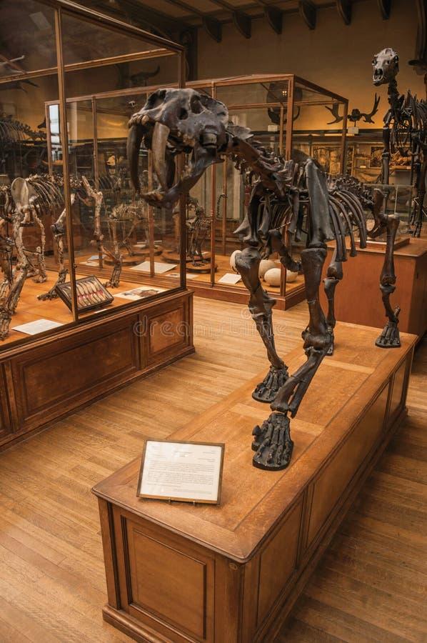 Esqueleto de Smilodon en el pasillo enorme en la galería de la paleontología y de la anatomía comparativa en París fotos de archivo libres de regalías