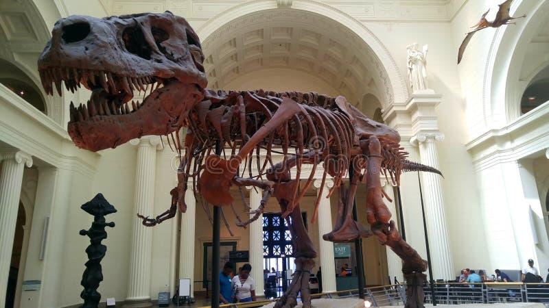 Esqueleto de T-rex fotos de stock