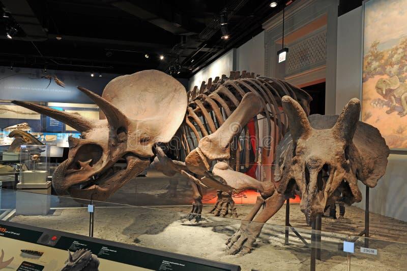 Esqueleto de Tryceratops no museu do campo em Chicago fotografia de stock royalty free