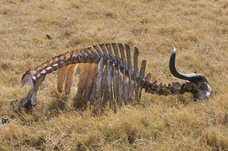Esqueleto del búfalo imagen de archivo. Imagen de áfrica - 6207747