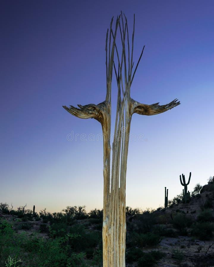 Esqueleto del cactus del Saguaro en Arizona en la puesta del sol fotos de archivo