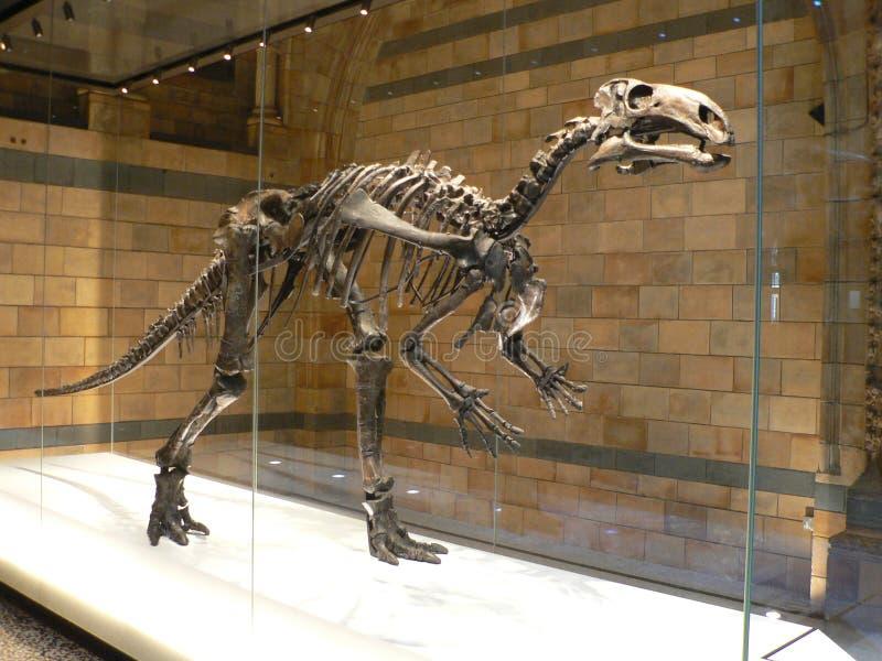 Esqueleto del dinosaurio de Mantellisaurus fotografía de archivo