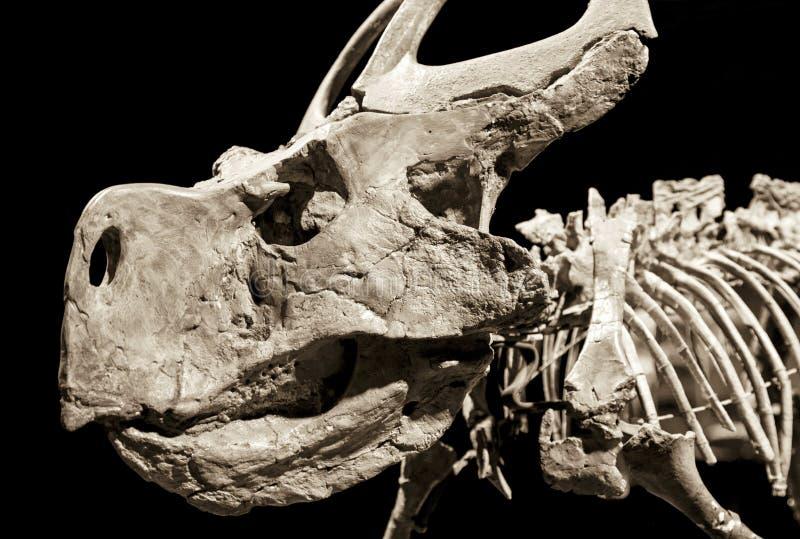 Esqueleto del dinosaurio - Protoceratops foto de archivo libre de regalías