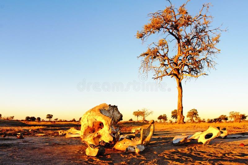 Esqueleto del elefante fotos de archivo