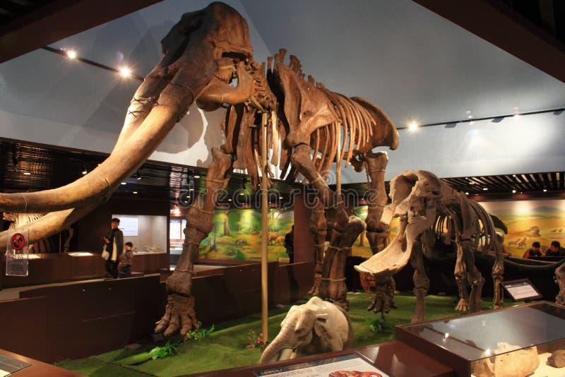 Esqueleto del elefante fotografía de archivo libre de regalías
