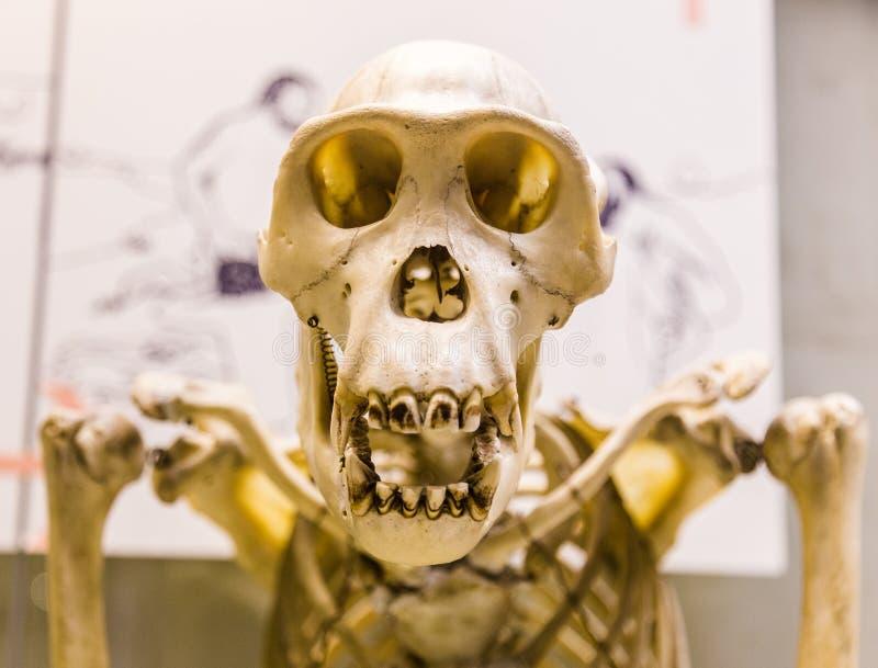 Esqueleto Del Mono Para La Educación De La Anatomía Foto de archivo ...