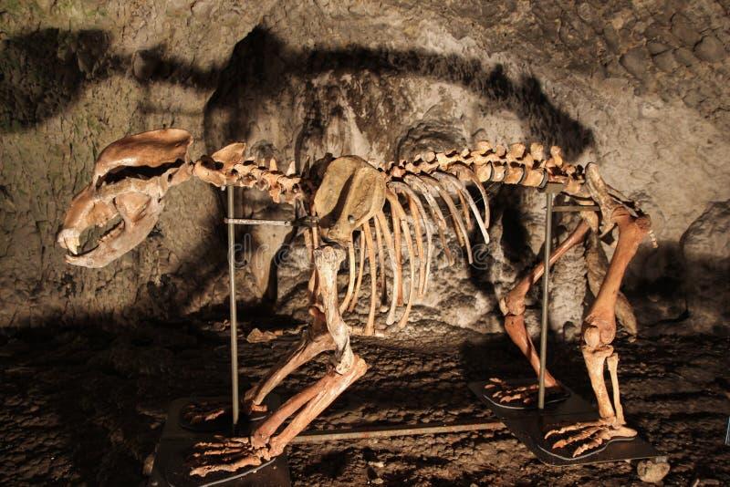 Esqueleto del oso de la cueva imagen de archivo libre de regalías