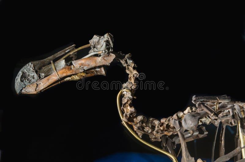 Esqueleto del pájaro del dodo imagen de archivo libre de regalías