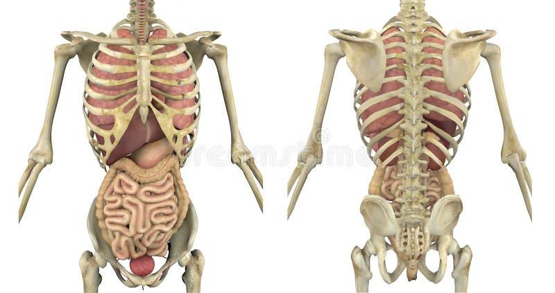 Esqueleto del torso con los órganos internos ilustración del vector