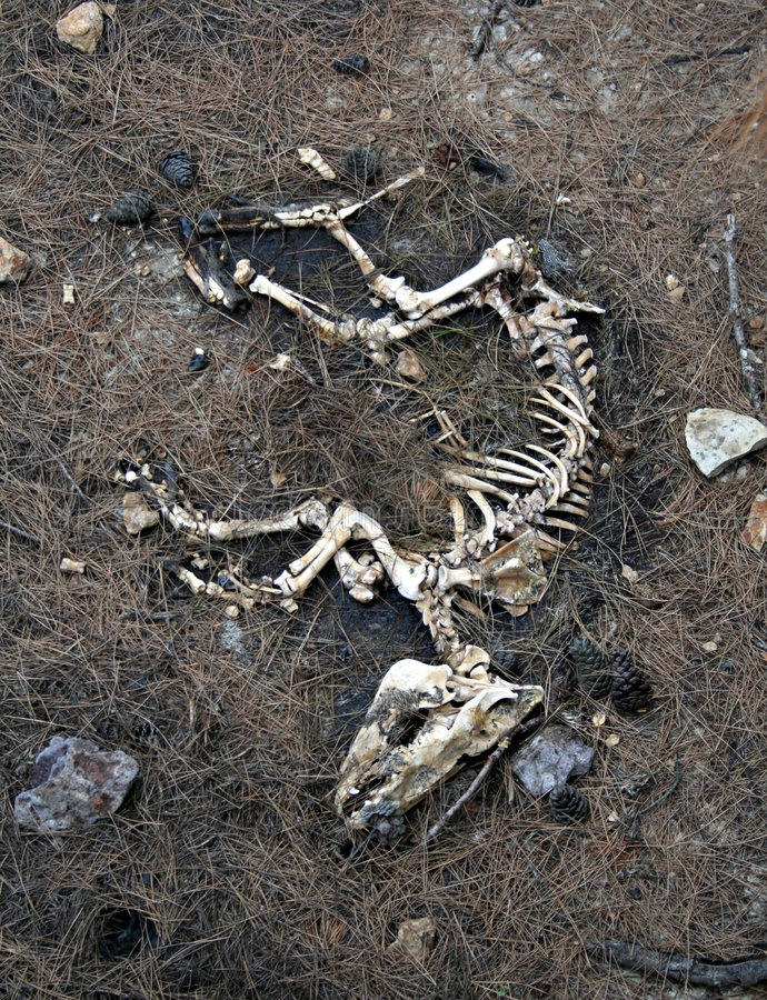 Esqueleto do cão fotografia de stock royalty free