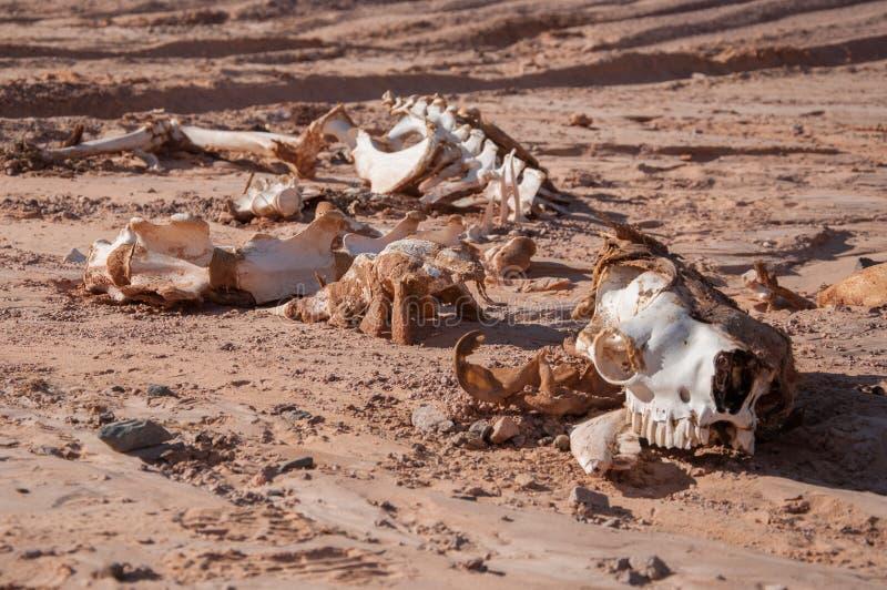 Esqueleto do camelo imagem de stock