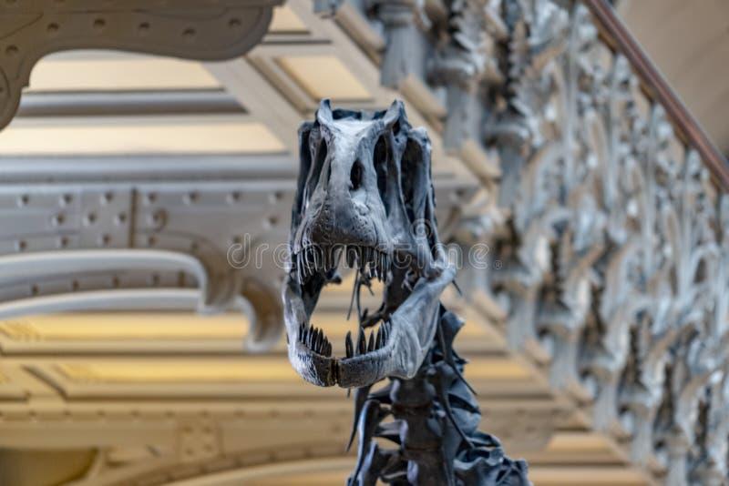 Esqueleto do crânio de Trex imagens de stock