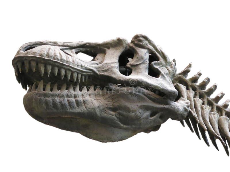 Esqueleto do dinossauro no fundo branco imagem de stock
