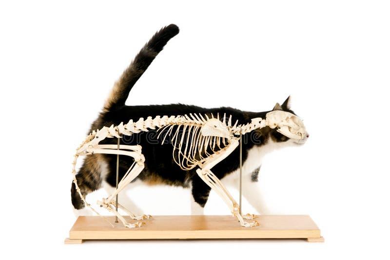 Esqueleto do gato fotos de stock royalty free