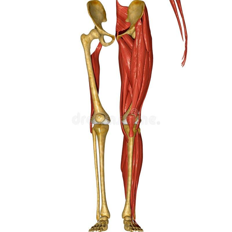 Esqueleto e músculos dos pés ilustração do vetor