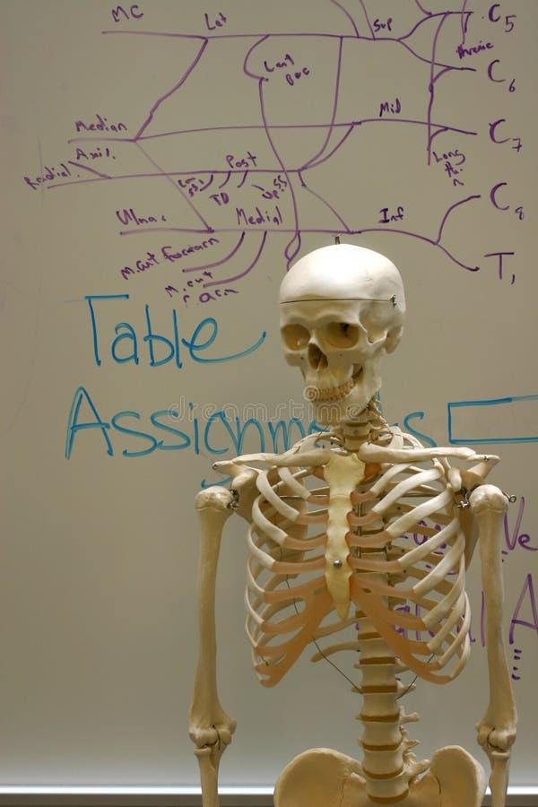 Esqueleto en sala de clase de la anatomía fotos de archivo libres de regalías