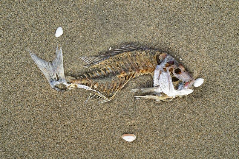 Esqueleto en una playa, Nueva Zelanda de los pescados de los mordedores imagen de archivo libre de regalías