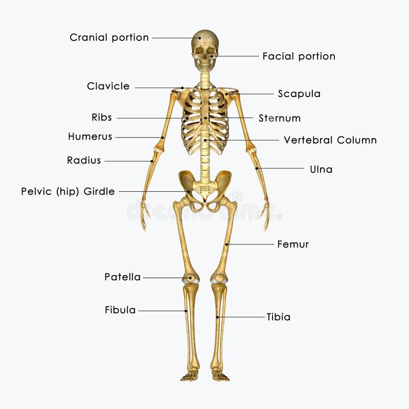 Esqueleto etiquetado stock de ilustración. Ilustración de full ...