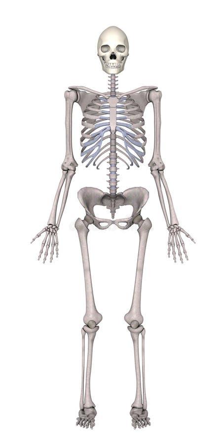 Esqueleto fêmea ilustração do vetor
