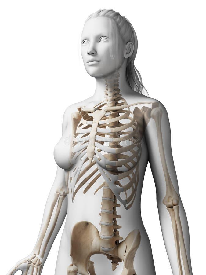 Esqueleto femenino stock de ilustración. Ilustración de hembra ...