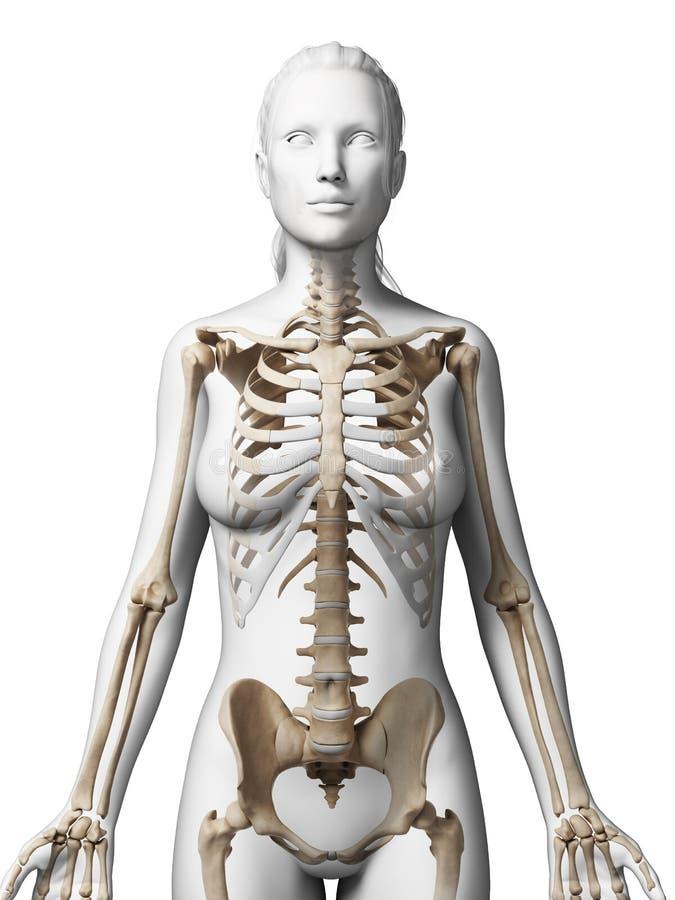 Esqueleto femenino stock de ilustración. Ilustración de biología ...