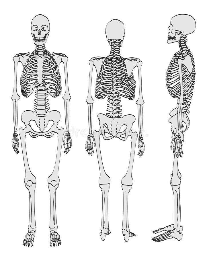 Esqueleto femenino stock de ilustración. Ilustración de sistema ...
