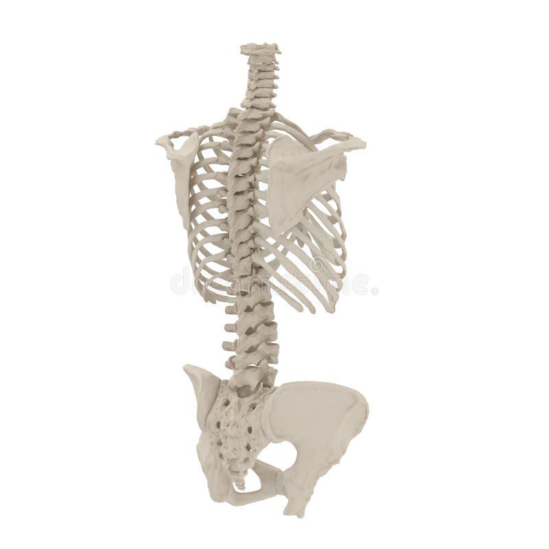 Esqueleto femenino exacto médico del torso en blanco ilustración 3D libre illustration