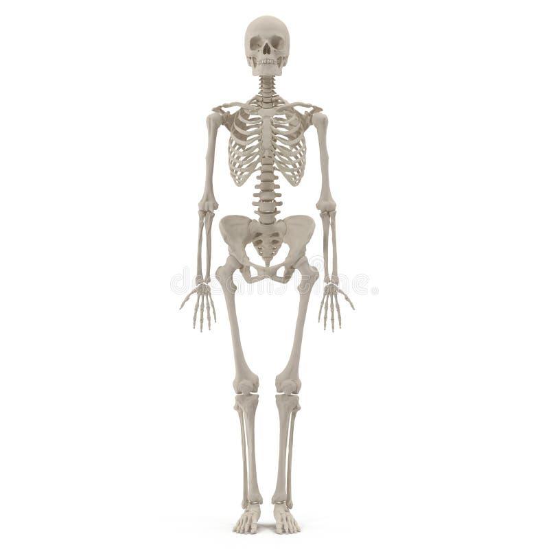 Esqueleto femenino exacto médico en blanco ilustración 3D stock de ilustración