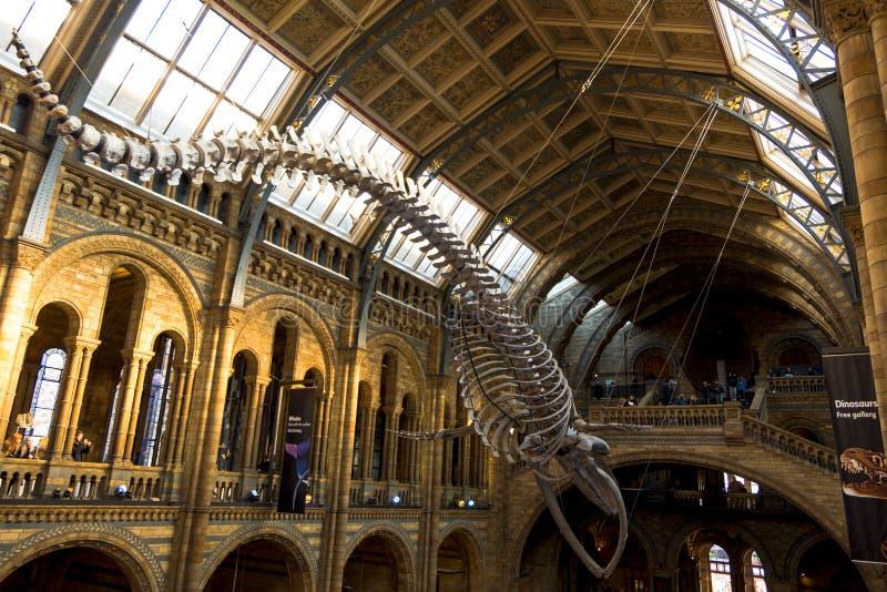 Esqueleto grande de la ballena azul en el pasillo principal del museo de la historia natural foto de archivo libre de regalías