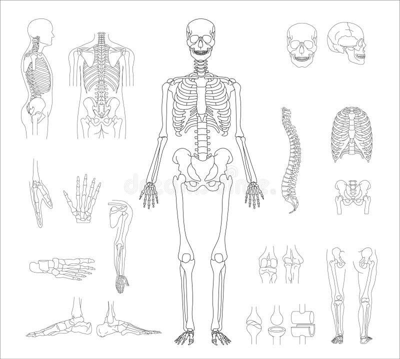 Esqueleto humano ilustración del vector. Ilustración de huesos ...