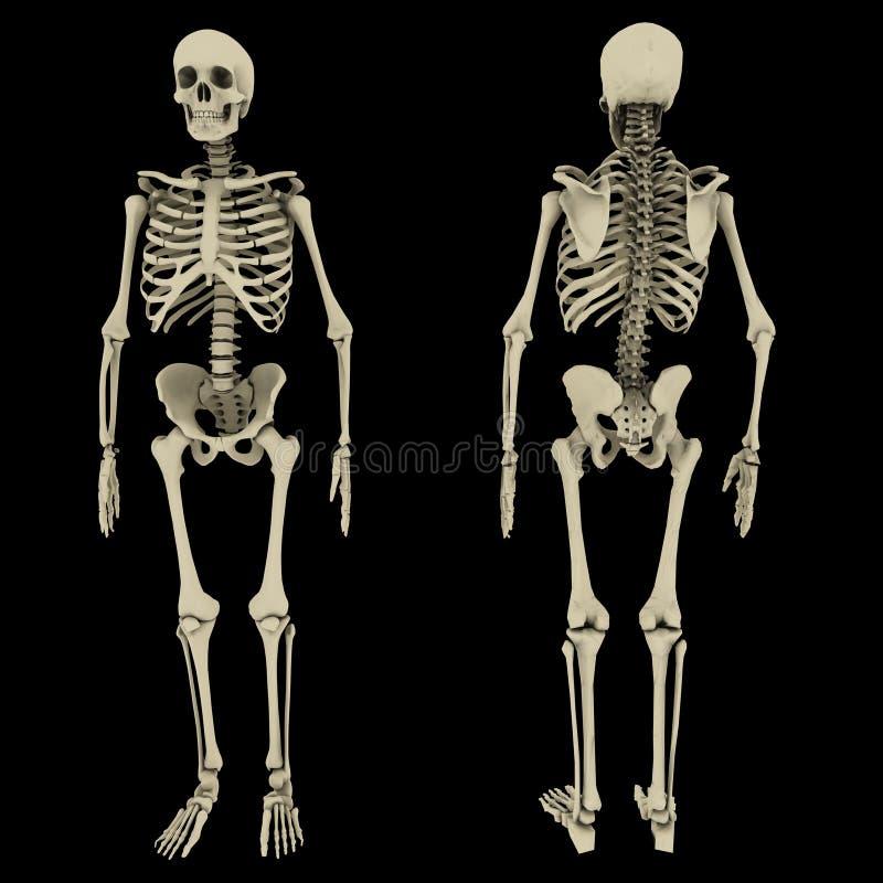Esqueleto humano ilustração do vetor