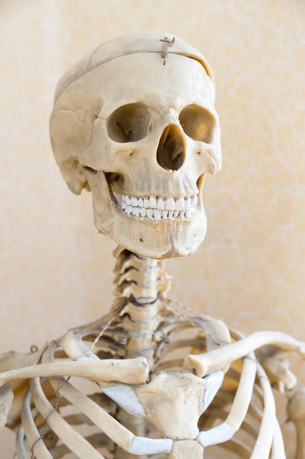 Esqueleto humano imagen de archivo