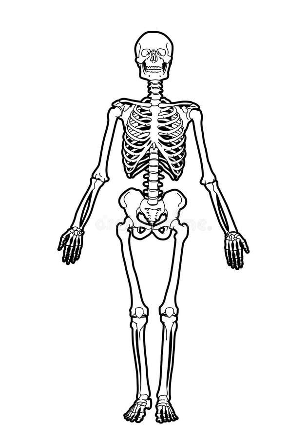 Esqueleto humano ilustración del vector. Ilustración de muerte ...