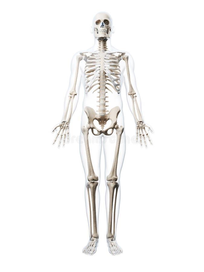 Esqueleto humano stock de ilustración. Ilustración de humano - 34165764