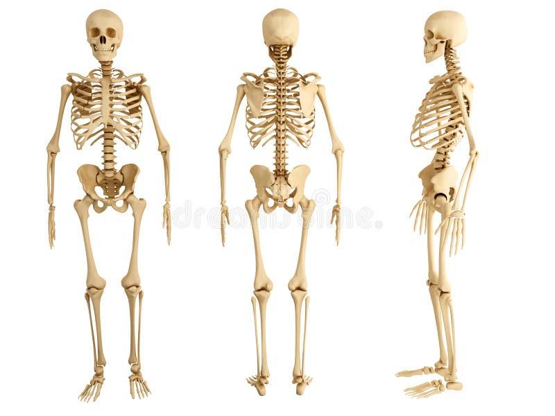 Esqueleto humano libre illustration