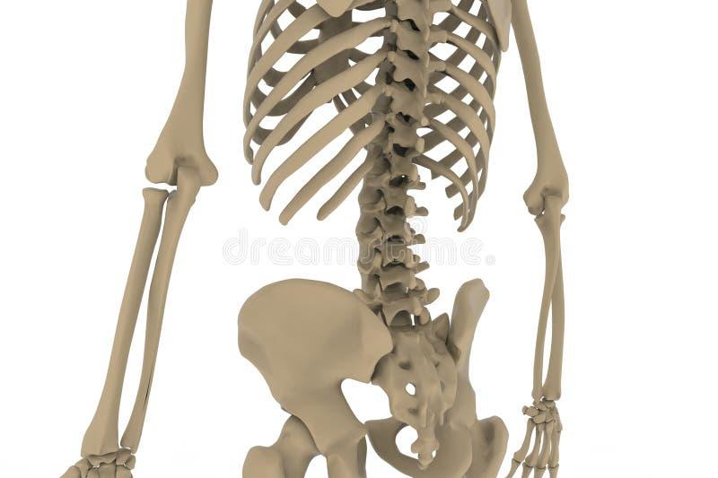 Esqueleto humano imagenes de archivo