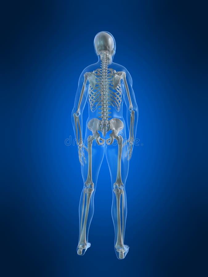 Esqueleto humano stock de ilustración. Ilustración de varón - 7750188