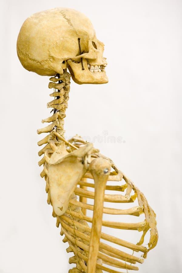 Esqueleto humano fotos de stock royalty free