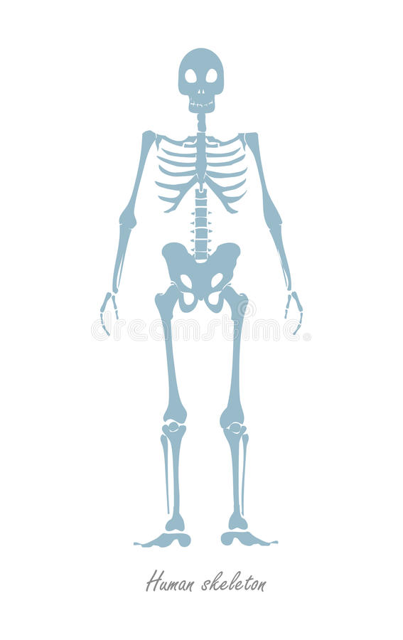 Esqueleto humano aislado en blanco Cuerpo humano stock de ilustración