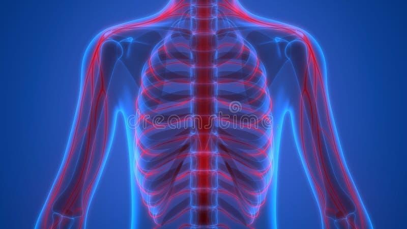 Esqueleto humano con el sistema nervioso libre illustration