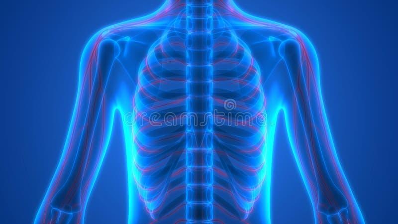 Esqueleto humano con el sistema nervioso stock de ilustración