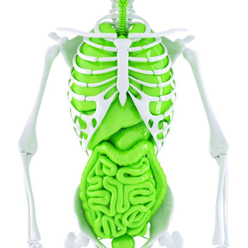 Esqueleto humano con los órganos internos Contiene la trayectoria de recortes ilustración del vector