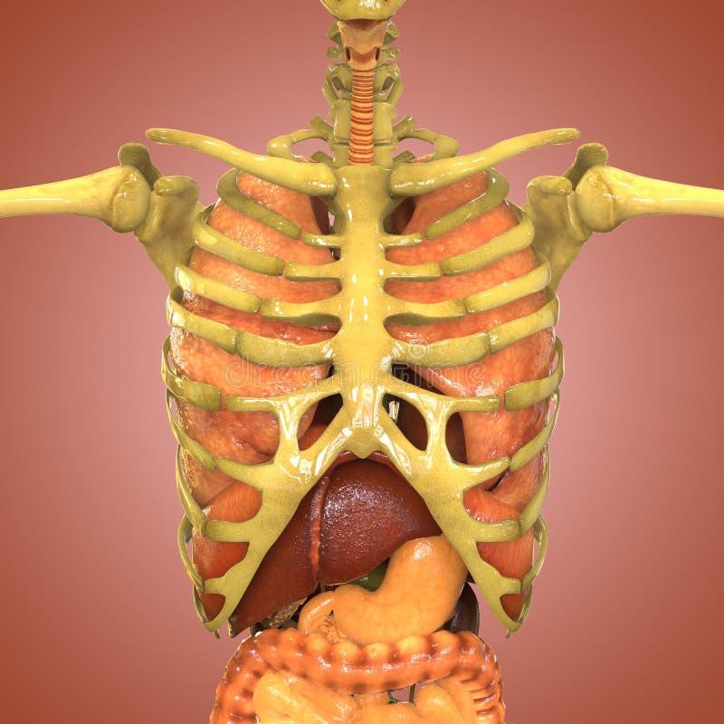 Esqueleto humano con los órganos (pulmones, hígado, grande y intestino delgado con los riñones) stock de ilustración