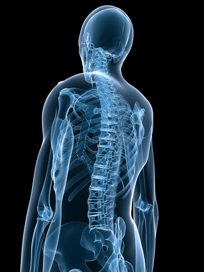 Esqueleto humano de la radiografía libre illustration