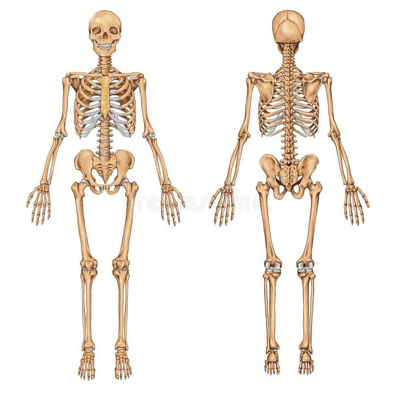 Dorable Esqueleto De La Anatomía Para La Venta Modelo - Imágenes de ...