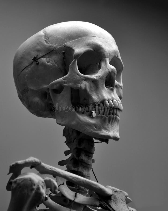 Esqueleto humano do crânio da qualidade do museu imagem de stock