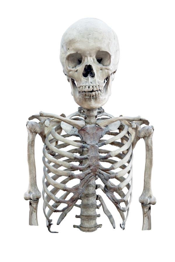 Esqueleto humano do meio corpo isolado no fundo branco fotografia de stock royalty free